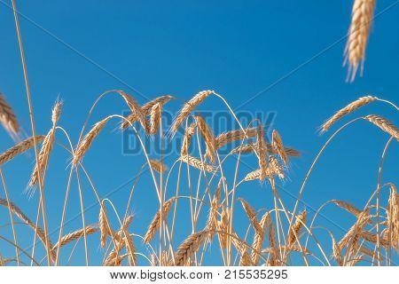 Road in wheat field, golden ears wheat closeup. Wheat field. Beautiful ears nature background