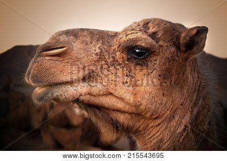 Camel head. Travel through the desert.Africa mammals