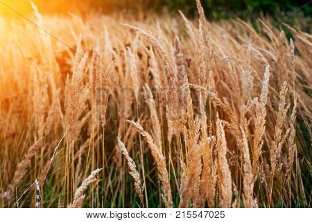 Autumn background of plants on the roadside, summer day in October, green grass with yellow spikelets roadside. Sunny highlight.