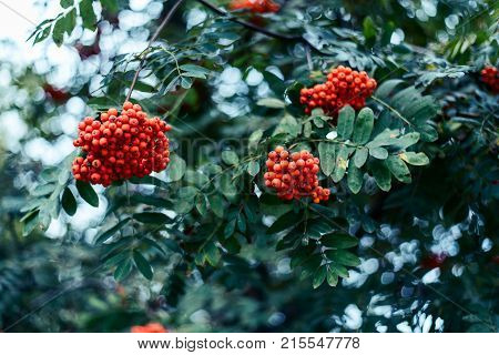 Ripe berries mountain ash, grow tree, autumn red berries, close-up, vintage style park.