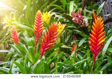 Flowering Vriesea Plants In Thickets Of Tropical Moist Forest.
