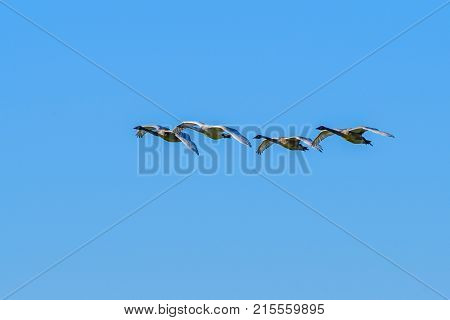 Geese flying over Skagit Valley, Washington State