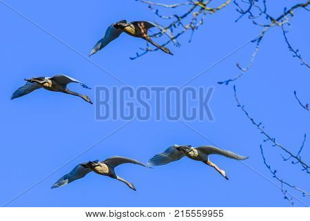 Geese flying over tree branches in Skagit Valley, WA