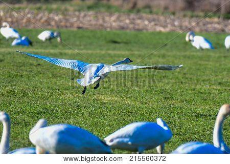 Trumpeter Swan taking flight from farm field in Skagit Valley WA