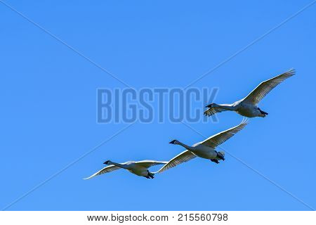 trumpeter Swans in flight against clear blue sky over Skagit Valley WA