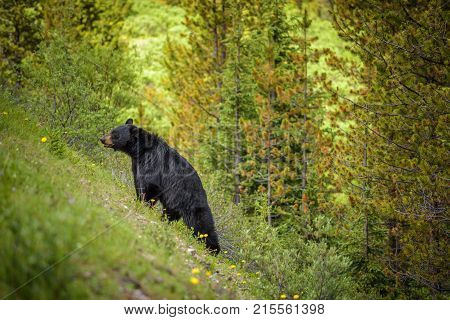 Wild Black Bear walks uphill in forests of Banff and Jasper National Park, Canada situated in canadian Rocky Mountains.
