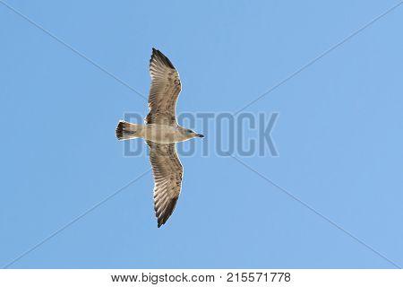 Caspian Gull In Flight In The Clear Blue Sky Larus Cachinnans Closeup