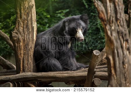 Indian sloth bear (Melursus ursinus ursinus), also known as the common sloth bear.