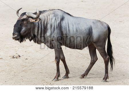 Blue wildebeest (Connochaetes taurinus), also known as the brindled gnu.