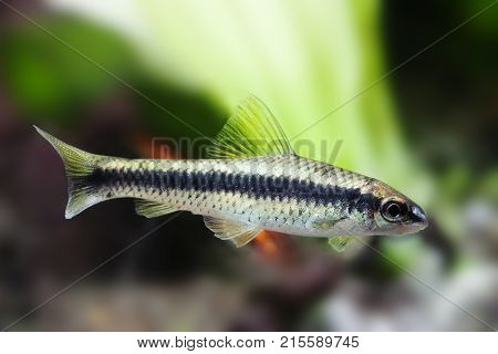 Crossocheilus siamensis Sae algae eater fish, freshwater tank landscape, close-up photo, selective focus.
