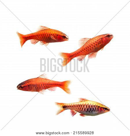 Cherry barb male fishes isolated on white. Tropical freshwater aquarium Puntius titteya belonging to the family Cyprinidae.