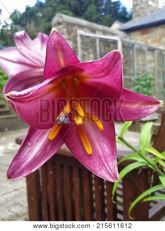 Dark Pink Lily with Yellow Anthers in the Yard