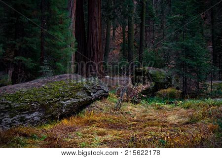 Magnificent fallen giant Sequoia Tree in late Autumn with moody vibrant light in Sequoia National Park.