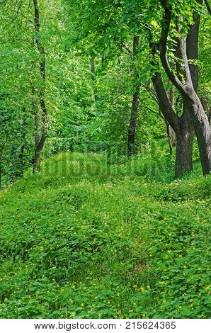 Deciduous trees growing on the forest glade on a background of of thickets of medicinal herbs celandine