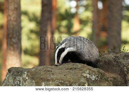 Eurasian Badger Meles meles looking for feed on stone