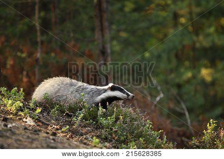 Eurasian Badger - Meles meles - in heather in autumn