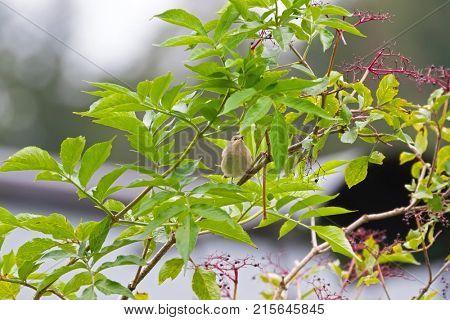 Cute Garden Warbler bird in pale brown perching feeding on Elderberry tree, Autumn in Austria, Europe (Sylvia borin)
