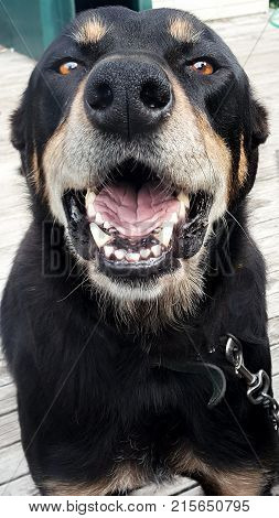 Dog with funny face howling with mouth open