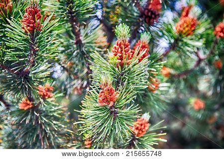 Pine Cone And Needles On Fir Tree In Krakow, Poland