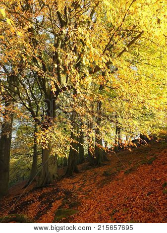 sunlit beech forest in autumn with glowing golden leaves on a sloping hill in the calder valley in yorkshire near hebden bridge