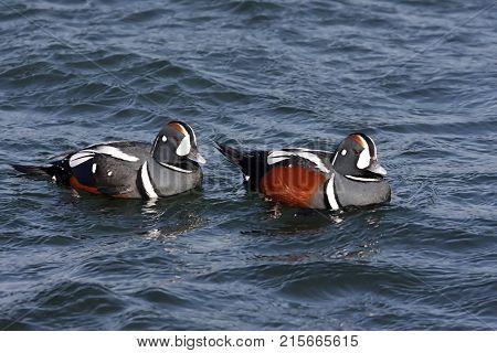 Colorful male Harlequin Ducks (histrionicus) swimming in the Atlantic Ocean
