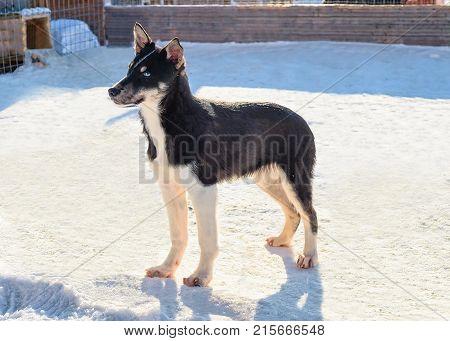 Husky puppy in enclosure in Rovaniemi Lapland Finland