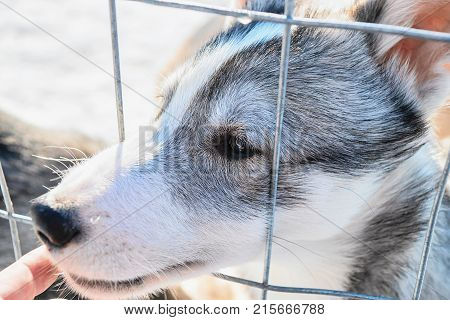 Face of funny husky puppy throughout the grid at the enclosure in Rovaniemi Lapland Finland