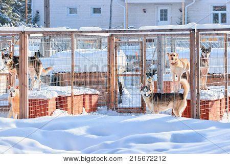 Husky dogs in enclosure in Rovaniemi Lapland Finland