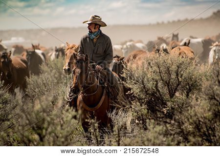 Cowboy wrangler leading horse herd through dust and sage brush during trail drive roundup