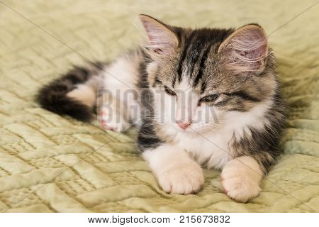 closeup of tabby and white cat lying on green duvet