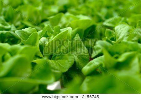 Green Cabbage Salad On Farmland