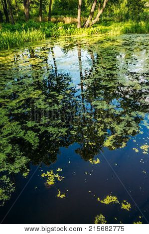 Swamp water with duckweed and tree reflections on the surface