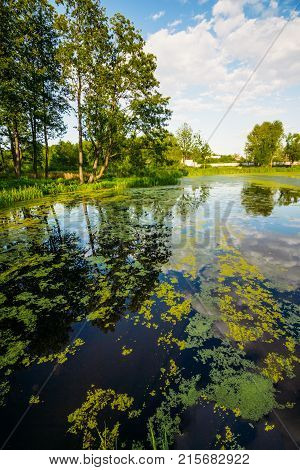 Swamp with duckweed and trees on the shore