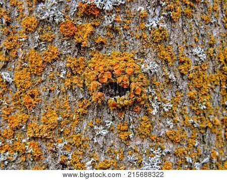 Yellow and Orange Lichen on tree bark, symbiotic combination of a fungus with an algae or bacterium, close up, macro in fall on the Yellow Fork and Rose Canyon Trails in Oquirrh Mountains on the Wasatch Front in Salt Lake County Utah USA.