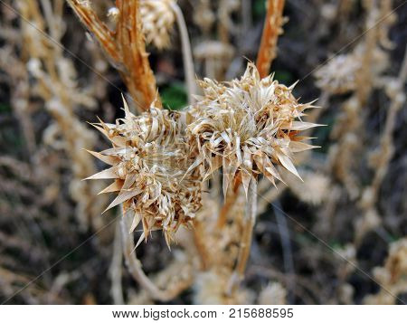 Thistle Weed, Musk (Carduus nutans) or Scotch (Onopordum, acanthium) in the fall, withered and dry, dead, Close up, Macro view, in Yellow Fork and Rose Canyon, Oquirrh Mountains along the Wasatch Front Utah, Salt Lake County, USA. poster