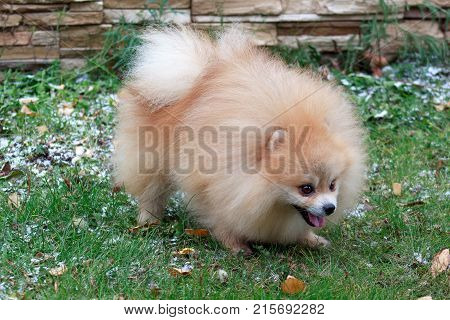 Pomeranian puppy is frolicking on the green grass. Pet animals.