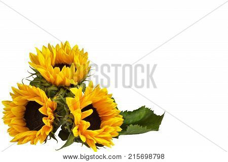 Bouquet of three flowers of a decorative sunflower, lying on the surface. Isolated on white background. Orientation on the left side of the frame. Mock up, copy space