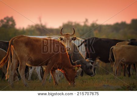 cow herd at dusk; these animals are released into free teritory by the farmers in spring and gathered in late autumn so they are actually feral; Danube Delta Romania