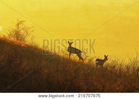 deers in orange colorful light at dawn ( Capreolus )