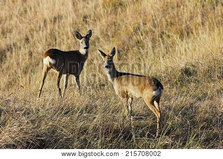 two roe deers in autumn field ( Capreolus )