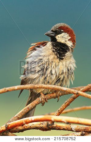 house sparrow perched on twigs ( Passer domesticus )