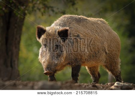 huge wild boar coming towards the camera ( Sus scrofa ); these european wild animals can be dangerous when with youngsters or when they are scarred