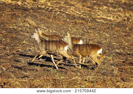 herd of roe deers running on ploughed land ( Capreolus )