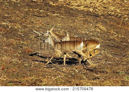 scared roe deers running on agricultural plowed terrain ( Capreolus )