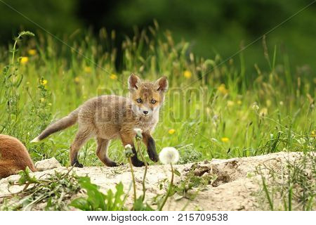 tiny red fox cub near the den curious wild animal looking at the camera ( Vulpes )