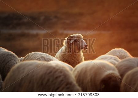 beautiful white ram with sheep herd at down