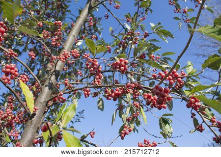 Bright red berries on tree on a suny day. tree with red ripe berries at autumn. background nature