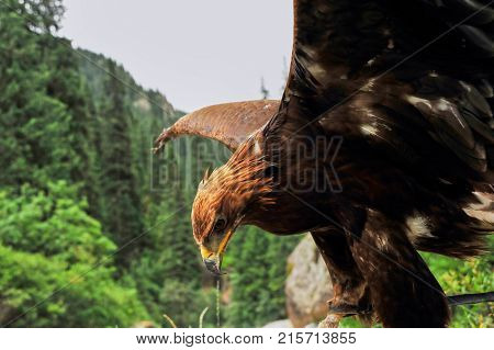 Golden eagle (Aquila chrysaetos). The golden eagle is one of the best-known birds of prey in the Northern Hemisphere. It is the most widely distributed species of eagle.
