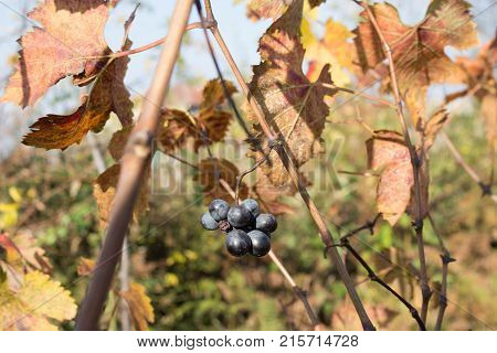 At the end of the season & after grape picking the vine leaves begin to yellow. Rows of Grape vines some with grapes still hanging