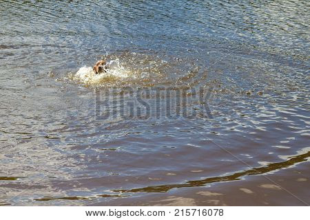 The Dog Breed English Cocker Spaniel Swimming In A Pond In The Summer